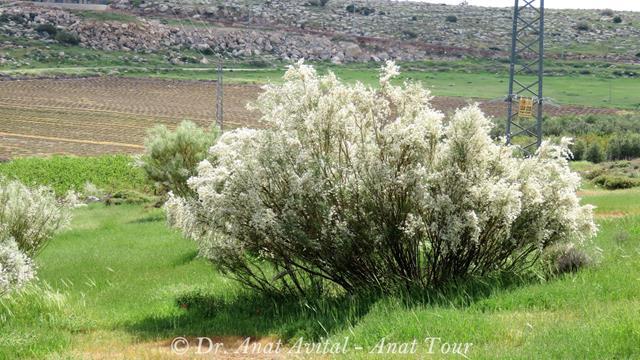 """רותם המדבר בפריחת חורף Retama raetam (צילום: ד""""ר ענת אביטל)"""