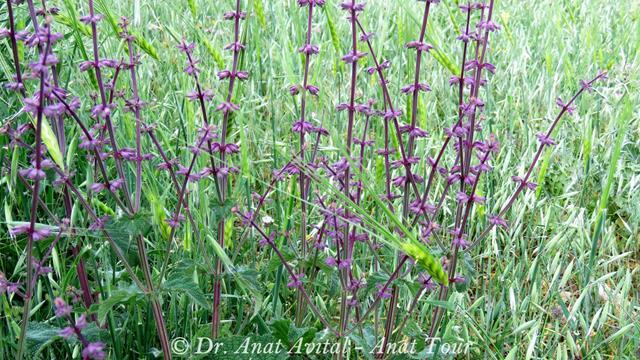 """מרוות יהודה Salvia judaica, ספר המדבר (צילום: ד""""ר ענת אביטל)"""