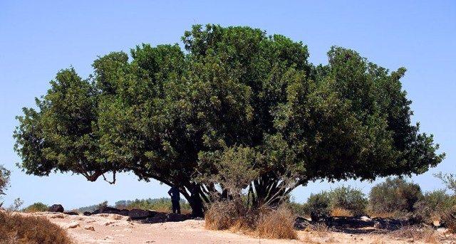 עץ חרוב בן מאות שנים שהיה בחורבת מדרס ונשרף בשנת 2016
