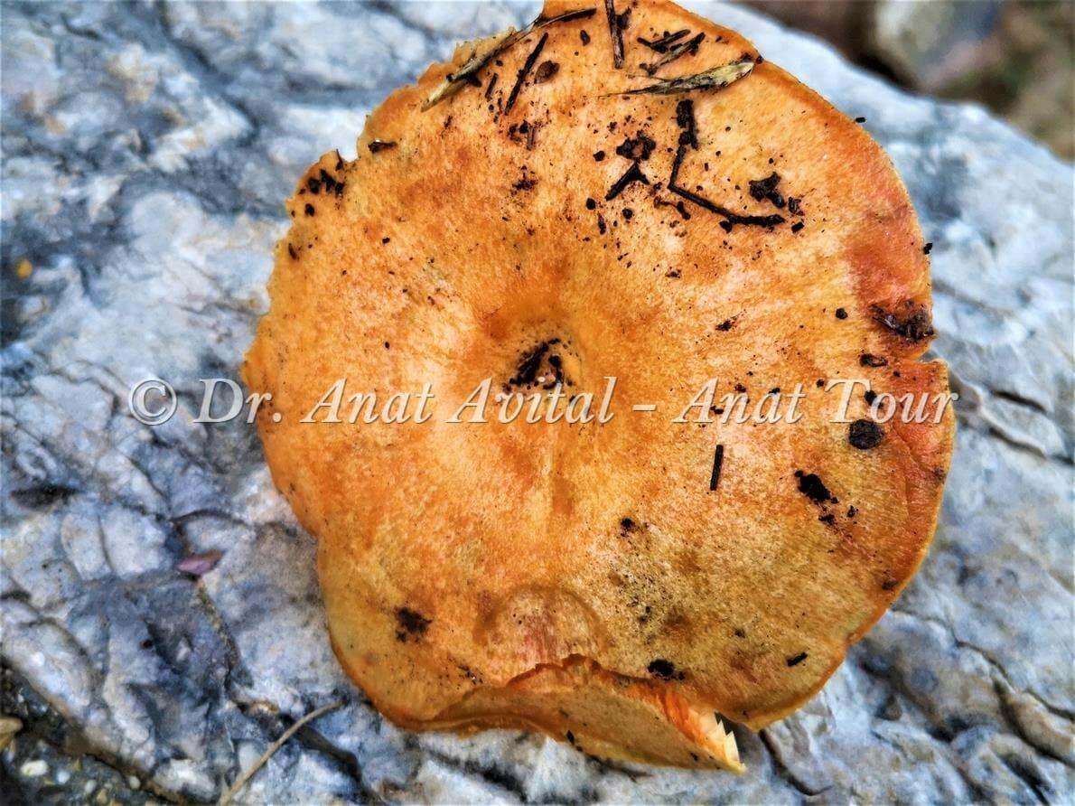 """פטרייה אכילה טעימה - נטופה ערבה (Lactarius deliciosus), יערות אורנים ואלונים, בן שמן, צילום: ד""""ר ענת אביטל"""