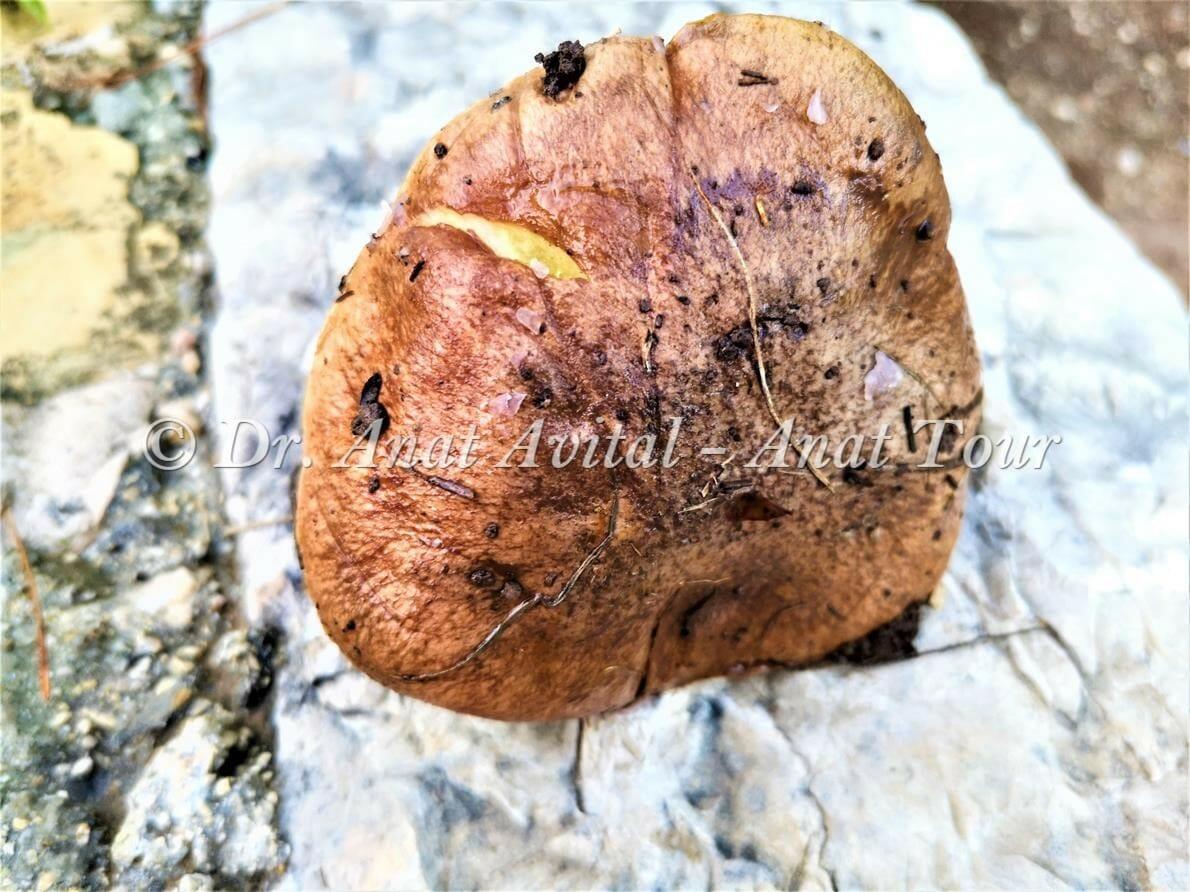 """פטריה אכילה- ארונייה מצויה (Suillus granulatus), ביער אורנים בן שמן, צילום: ד""""ר ענת אביטל"""