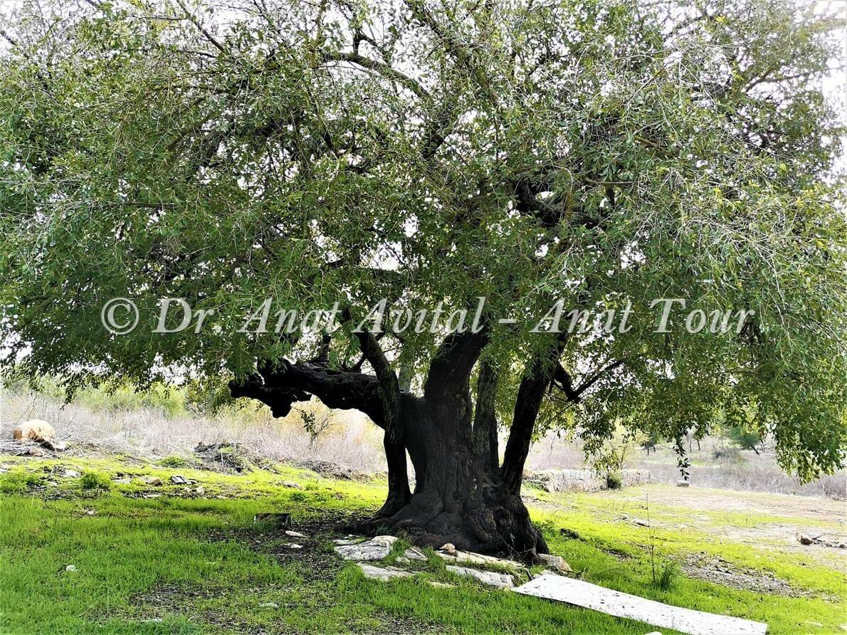 """שיזף מצוי גדול, בקעת הנזירים יערות בן שמן-מודיעין, צילום: ד""""ר ענת אביטל"""