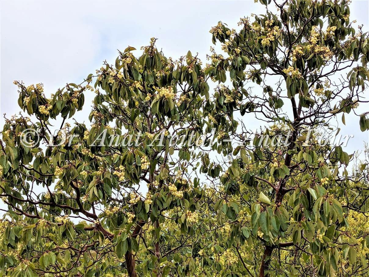 """קטלב מצוי עץ בחורש הים-תיכוני עם פריחה לבנה באביב ופירות אדומים בקיץ, צילום: ד""""ר ענת אביטל"""