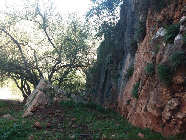 """עץ ליבנה רפואי מרגלות מצוקי הארבל (צילום: ד""""ר ענת אביטל)"""