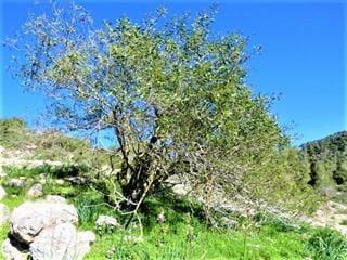 """עצי שקד בדרך הקיסר, שביל ישראל, צילום: ד""""ר ענת אביטל"""