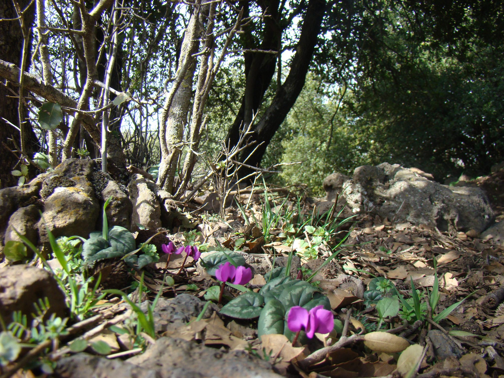 """רקפת יוונית ביער אודם בגולן (צילום: ד""""ר ענת אביטל)"""