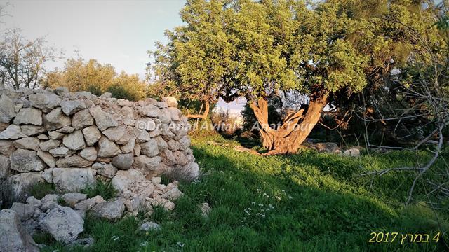"""חרוב עתיק וגלי אבנים למשען הגפנים, תולילת אל-ענב, גבעת שר מודיעין, צילום: ד""""ר ענת אביטל"""