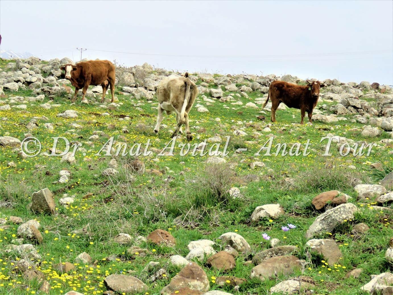 """פרות ופריחת כלניות בנחל עורבים בצפון הגולן, צילום: ד""""ר ענת אביטל"""