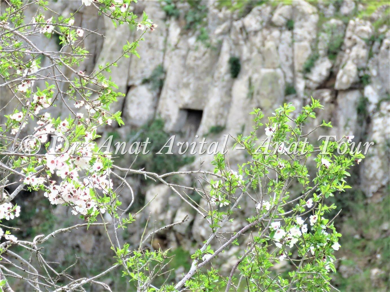 """שקד מצוי מעל מצוקי נחל עורבים, צילום: ד""""ר ענת אביטל"""