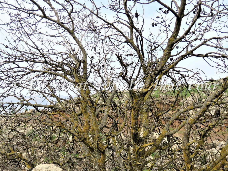 """אלה אטלנטית בנחל עורבים בצפון הגולן, צילום: ד""""ר ענת אביטל"""