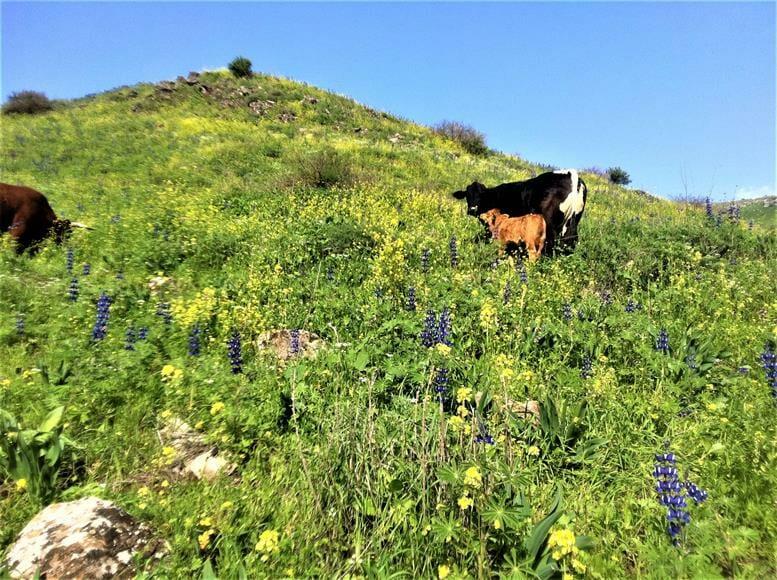 """פרות באחו, נחל תבור בגליל התחתון המזרחי, צילום: ד""""ר ענת אביטל"""