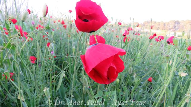 """פריחת פרג אגסי (אגסני) אדום, צילום: ד""""ר ענת אביטל"""