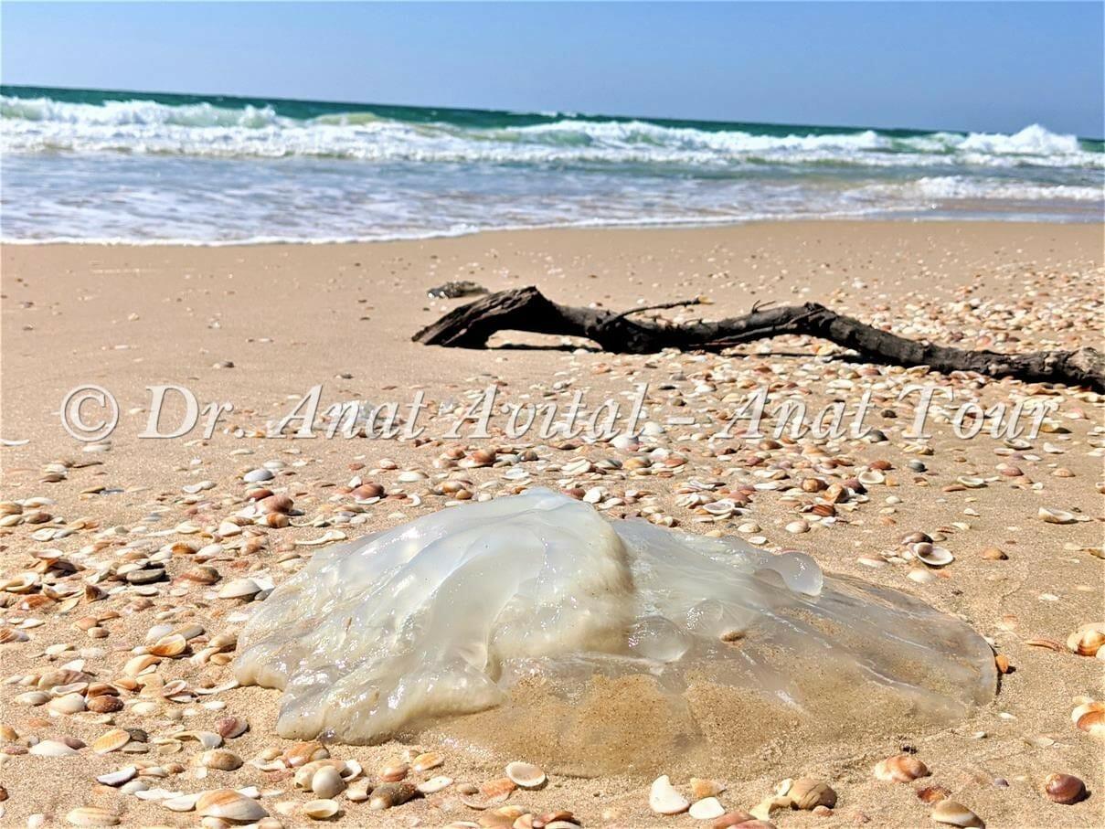 """מדוזה חוטית נודדת בחופי ישראל, קיץ 2020, צילום: ד""""ר ענת אביטל"""