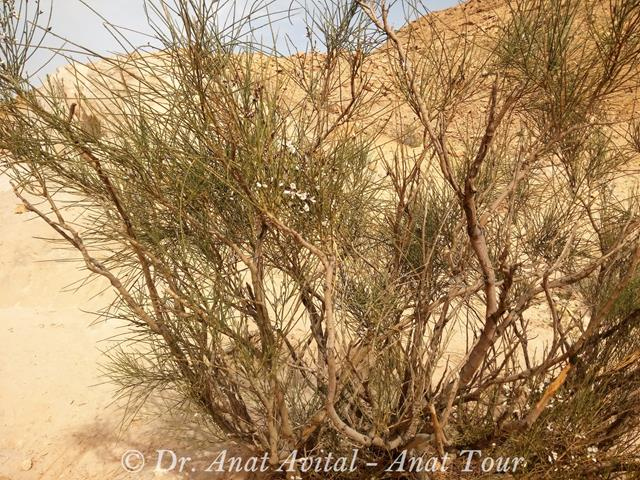 """רותם המדבר Retama raetam (צילום: ד""""ר ענת אביטל)"""