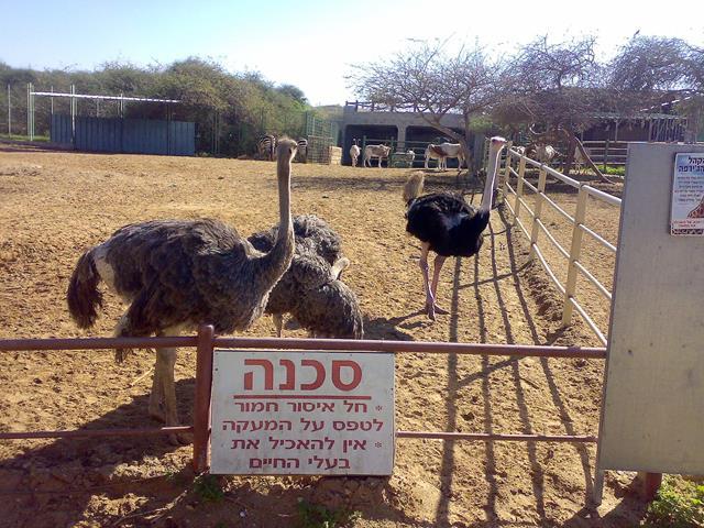 """גן חיות ספארי, יענים, טיילת פארק נחל לכיש אשדוד (צילום: ד""""ר ענת אביטל)"""