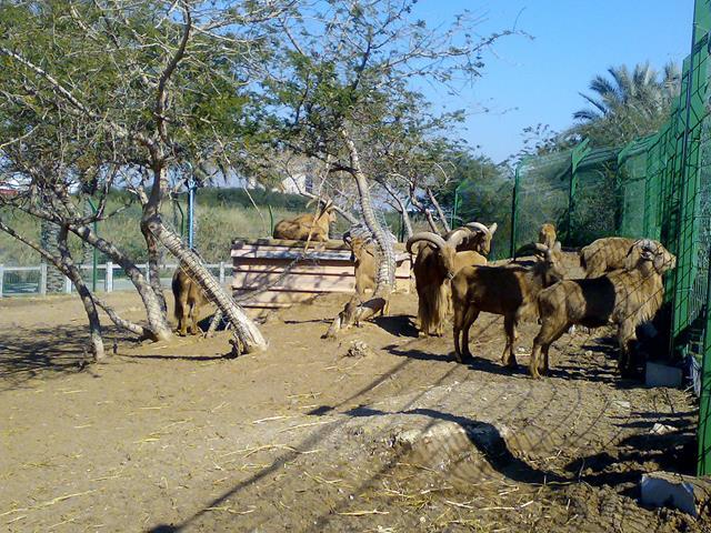 """גן חיות ספארי, כבשים, טיילת פארק נחל לכיש אשדוד (צילום: ד""""ר ענת אביטל)"""