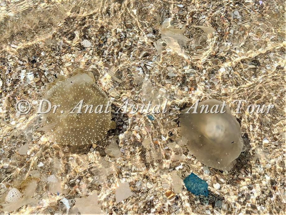 """מדוזה חומה קטנה, עמונית נקודה Phyllorhiza punctata, קיץ 2020, צילום: ד""""ר ענת אביטל"""
