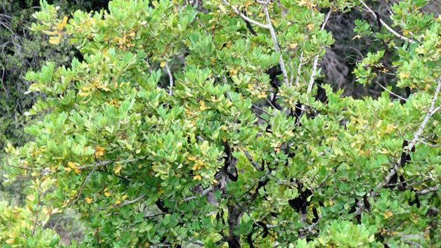 """חרוב מצוי, עץ נקבי, שפלת יהודה (צילום: ד""""ר ענת אביטל)"""