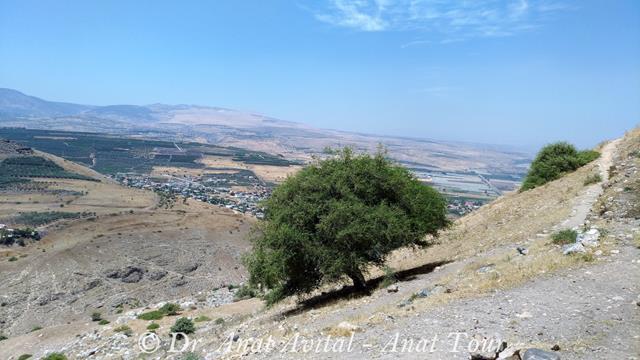 """שיזף מצוי על מורדות מבצר הארבל - גן לאומי מצוקי הארבל (צילום: ד""""ר ענת אביטל)"""