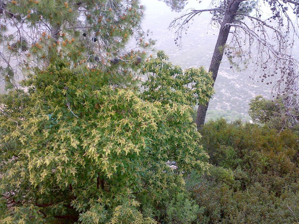 """קְטָלָב מָצוּי עץ בחורש הים-תיכוני עם פריחה לבנה באביב ופירות אדומים בקיץ, צילום: ד""""ר ענת אביטל"""