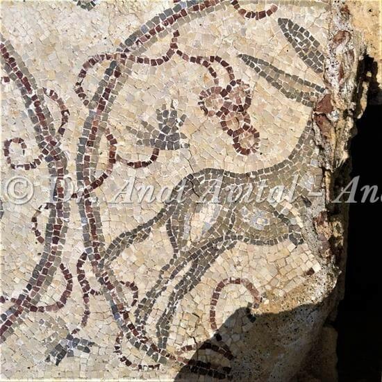 """חמור זכר, פסיפס מקיסריה העתיקה מערבית לקמרונות הנמל, צילום: ד""""ר ענת אביטל"""