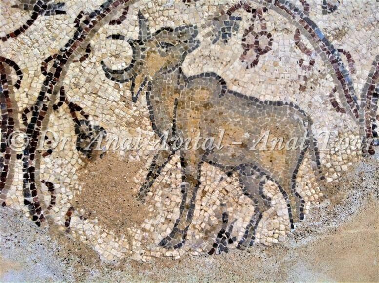"""פר בקר הבית זבו זכר, פסיפס מקיסריה העתיקה מערבית לקמרונות הנמל, צילום: ד""""ר ענת אביטל"""
