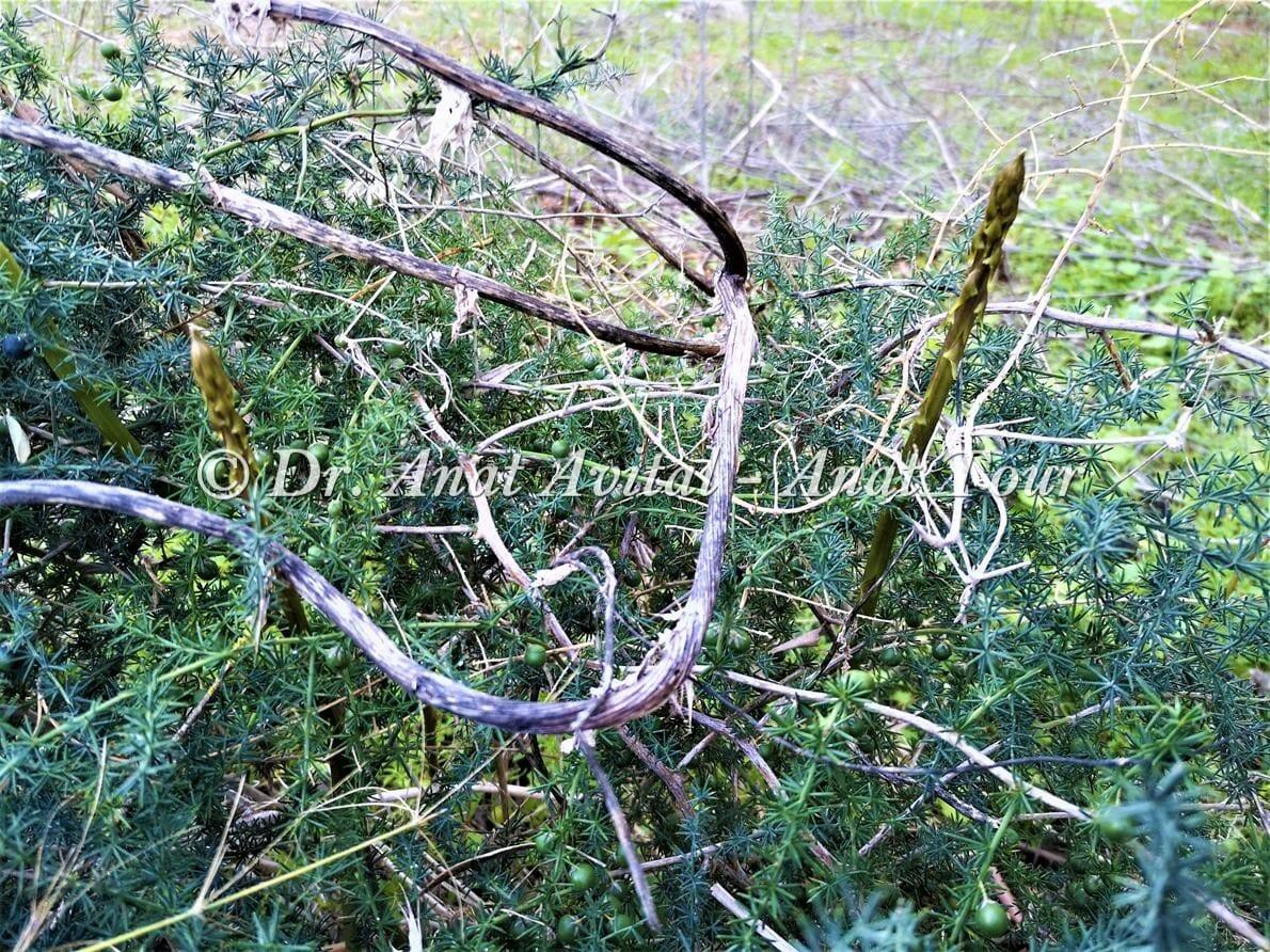 """אספרג החורש, צילום: ד""""ר ענת אביטל"""