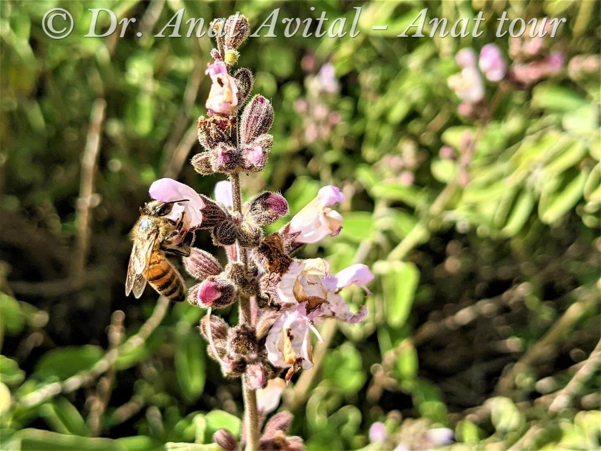 """מרווה משולשת ודבורה עמלנית באביב, צילום: ד""""ר ענת אביטל"""