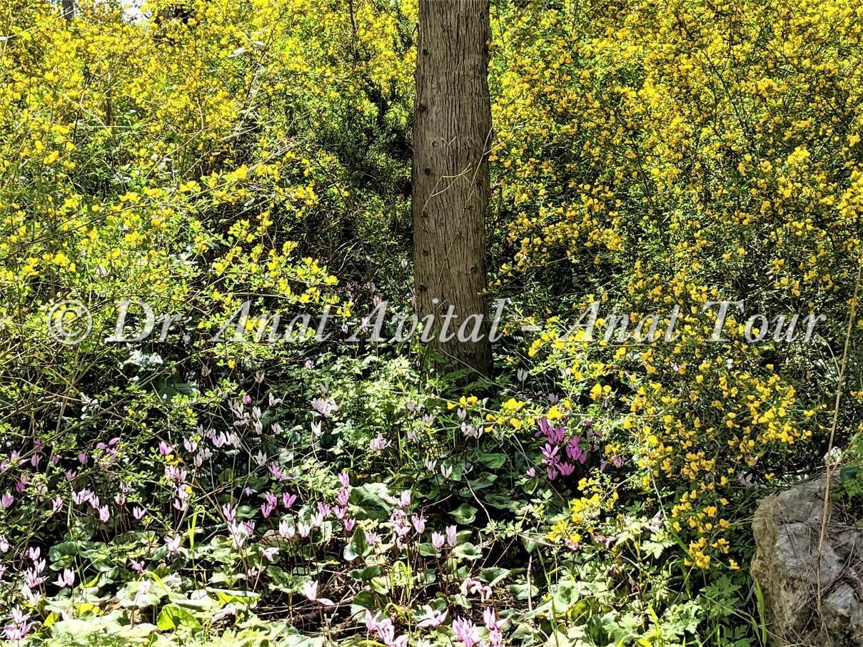 """קידה שעירה ורקפת מצויה ביערות בן שמן, צילום: ד""""ר ענת אביטל"""