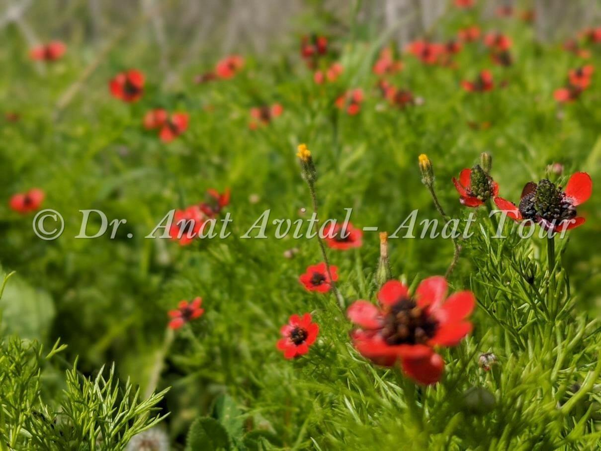 """דמומית קטנת-פרי בפריחת אביב אדומה, צילום: ד""""ר ענת אביטל"""