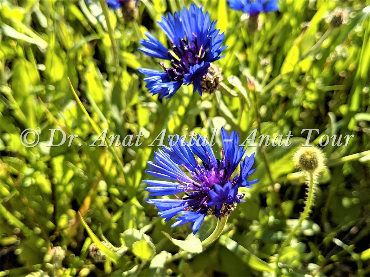 """דרדר כחול בפריחת אביב, צילום: ד""""ר ענת אביטל"""