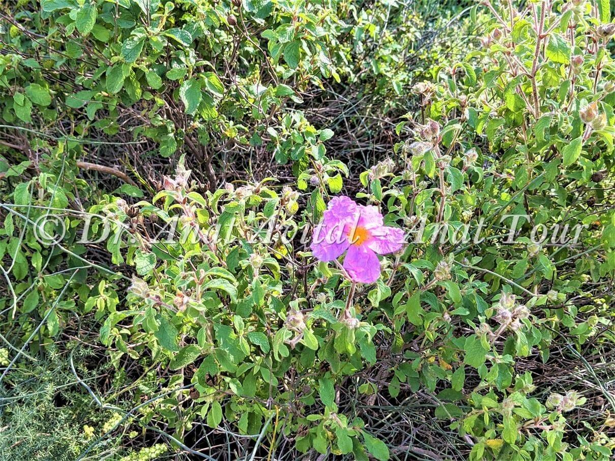 """לוטם שעיר בפריחת אביב ורודה, צילום: ד""""ר ענת אביטל"""