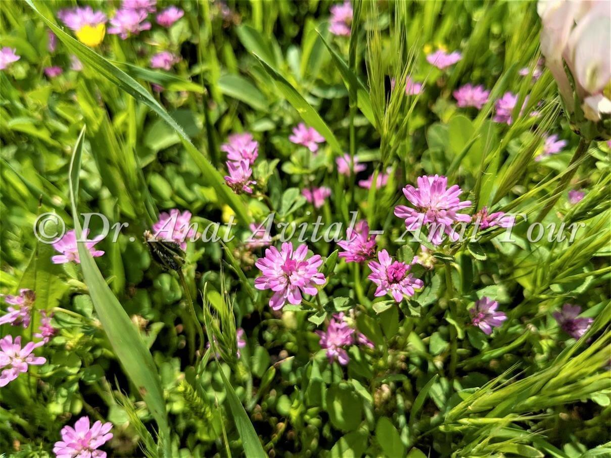 """תלתן הפוך בפריחת אביב ורודה, צילום: ד""""ר ענת אביטל"""