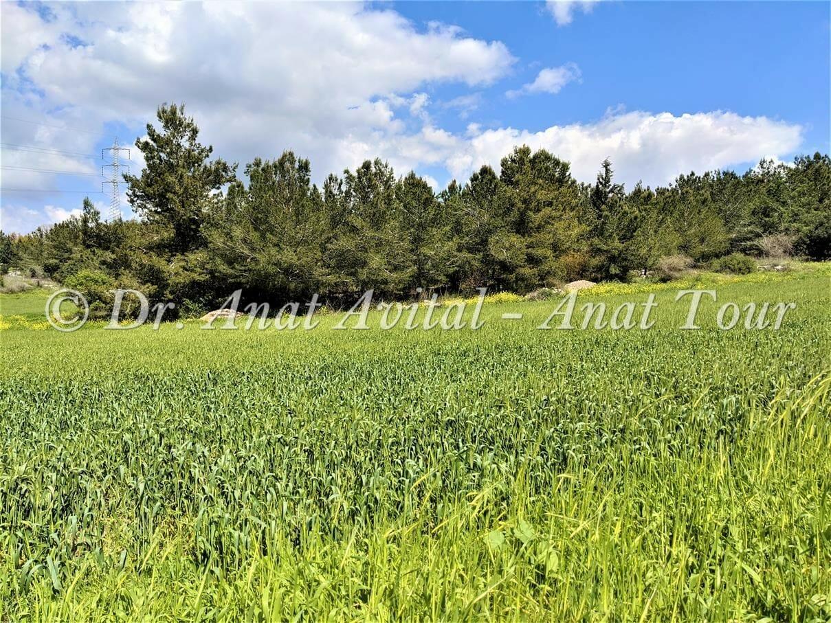 """שדות חיטה מוריקה באביב, יערות בן שמן, צילום: ד""""ר ענת אביטל"""