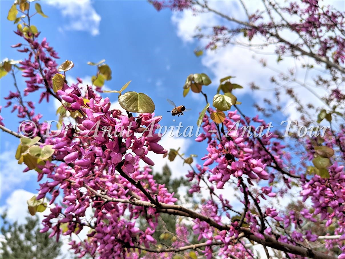 """כליל החורש בפריחת אביב סגולה-ורודה, צילום: ד""""ר ענת אביטל"""