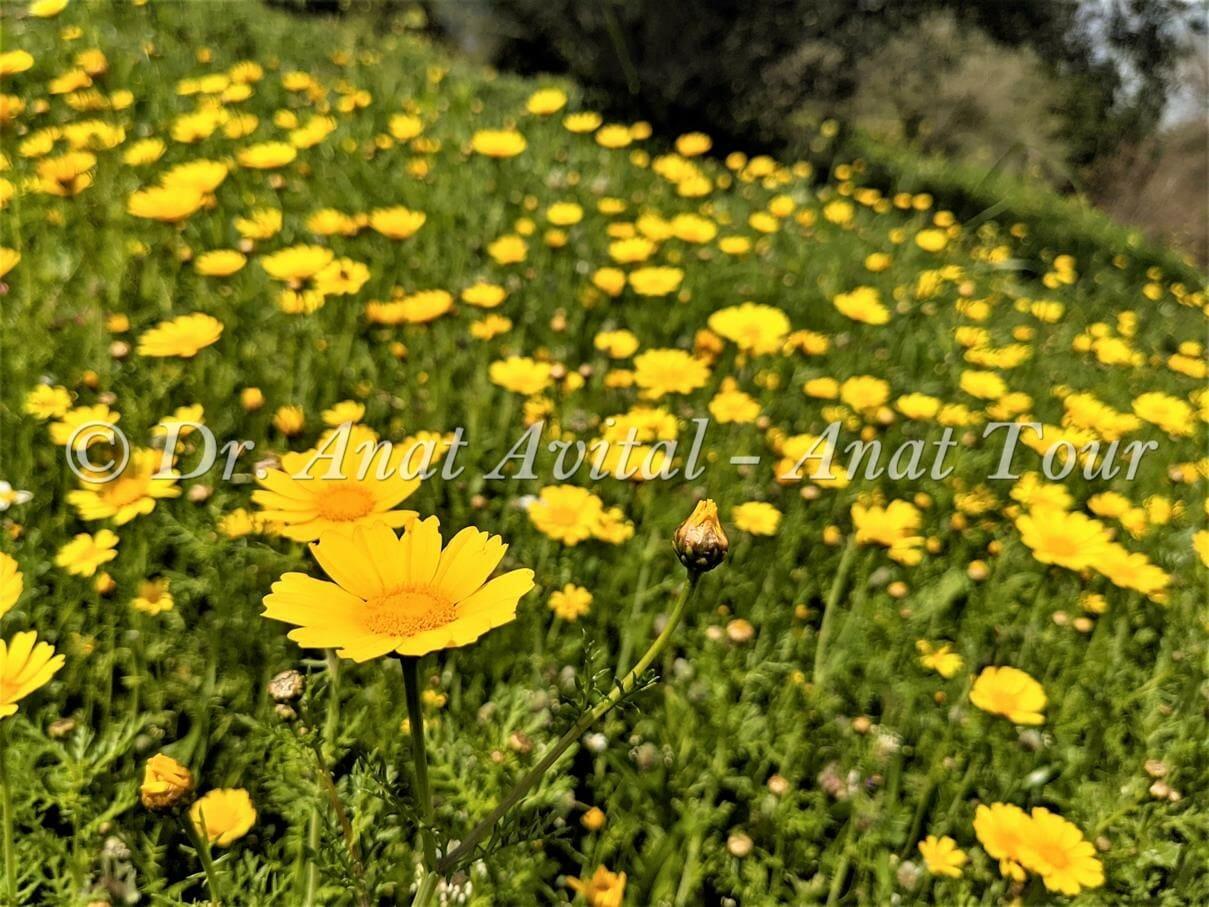 """חרצית עטורה בפריחת אביב צהובה, צילום: ד""""ר ענת אביטל"""