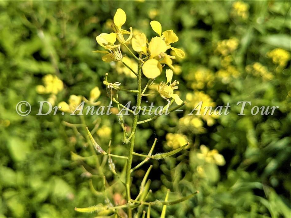 """חרדל לבן בפריחת אביב צהובה, צילום: ד""""ר ענת אביטל"""
