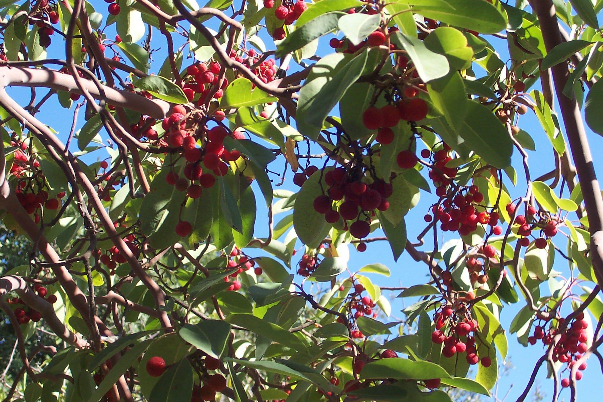 """פירות קטלב מצוי, צילום: ד""""ר ענת אביטל"""