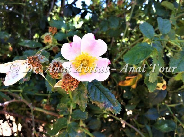 """ורד הכלב בהר סנאים בחרמון, צילום: דר"""" ענת אביטל"""