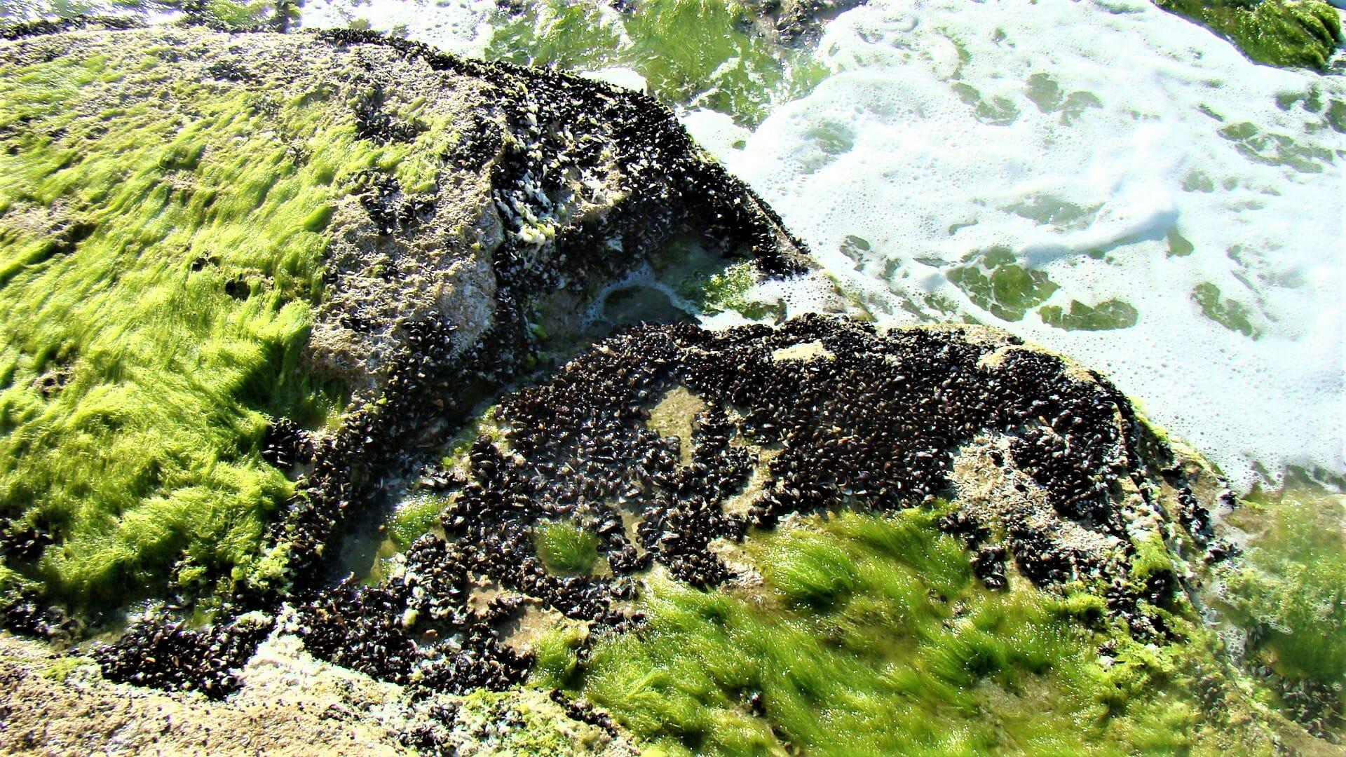 """צדפה בוצית קטנה ואצה ירוקייה - פרשדונית, חוף תל-ברוך אזור הכרית, צילום: ד""""ר ענת אביטל"""
