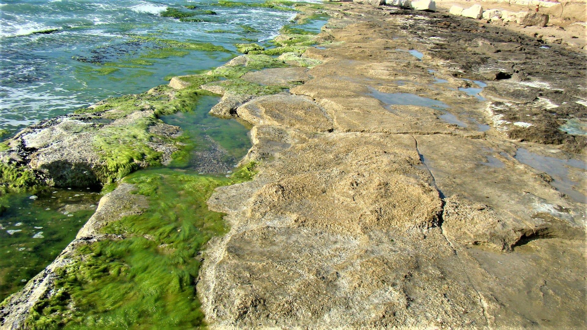 """אצה ירוקייה - פרשדונית, חוף תל-ברוך, לוחות גידוד באזור הכרית, צילום: ד""""ר ענת אביטל"""
