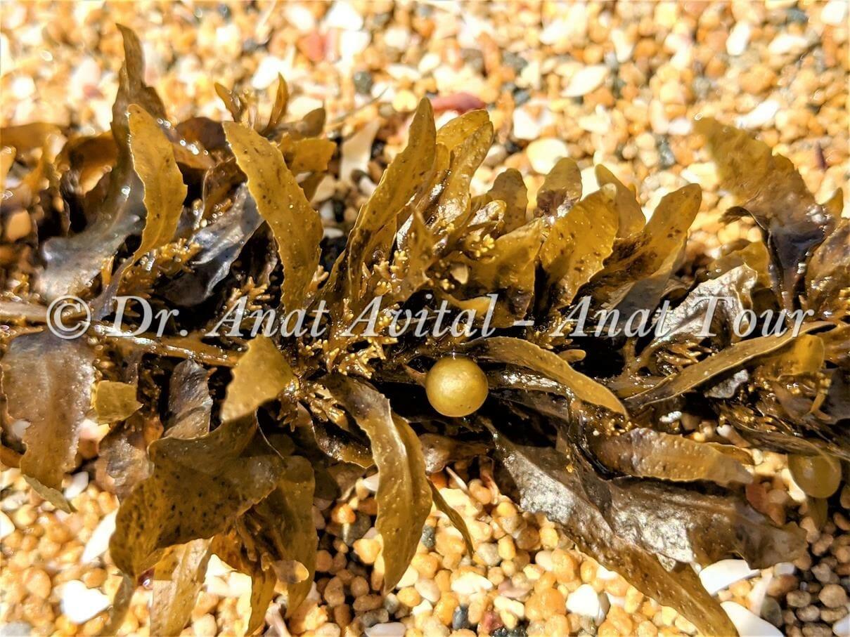 """אצה חומית- סרגסום, צילום: ד""""ר ענת אביטל"""