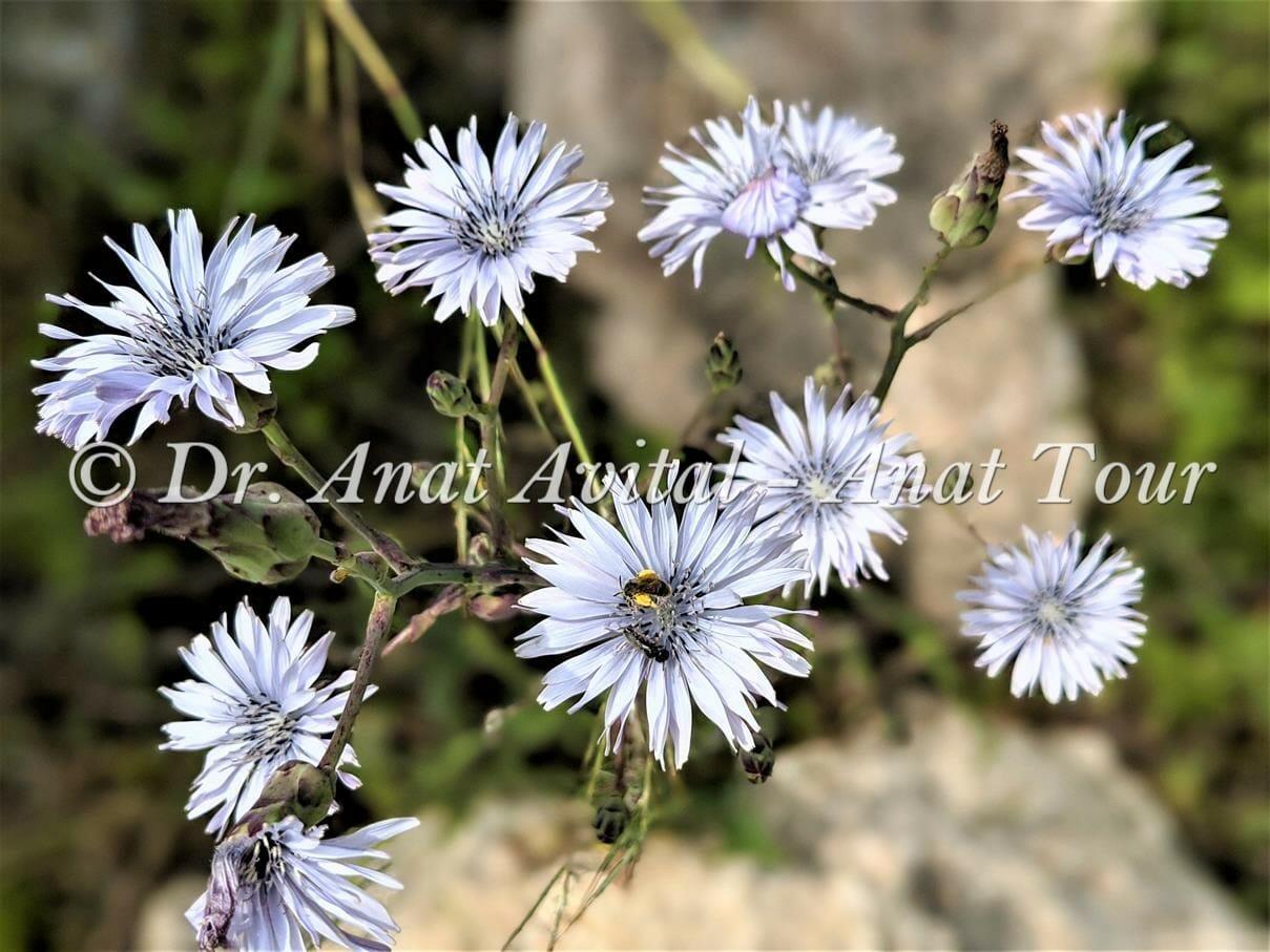 """חסה כחולת פרחים, צילום: ד""""ר ענת אביטל"""
