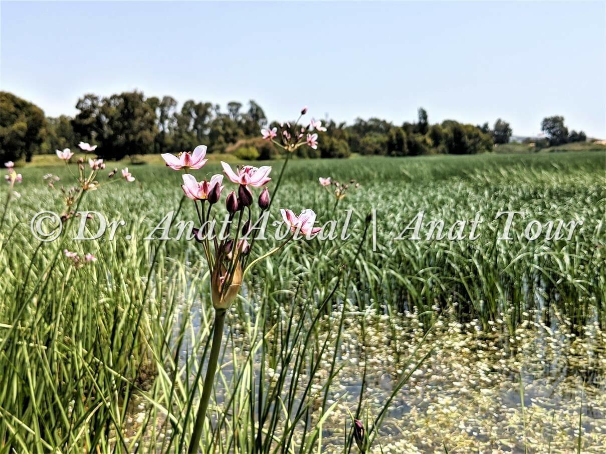 """בוציץ סוככני ונהרונית צפה, ברכת יער, שביל ישראל בפארק השרון, צילום: ד""""ר ענת אביטל"""