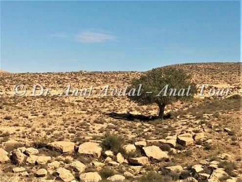 """אלה אטלנטית בנחל ניצנה, צילום: ד""""ר ענת אביטל"""
