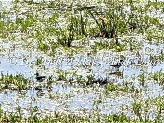 """ביצניות בברכת יער חדרה גן לאומי פארק השרון, צילום: ד""""ר ענת אביטל"""