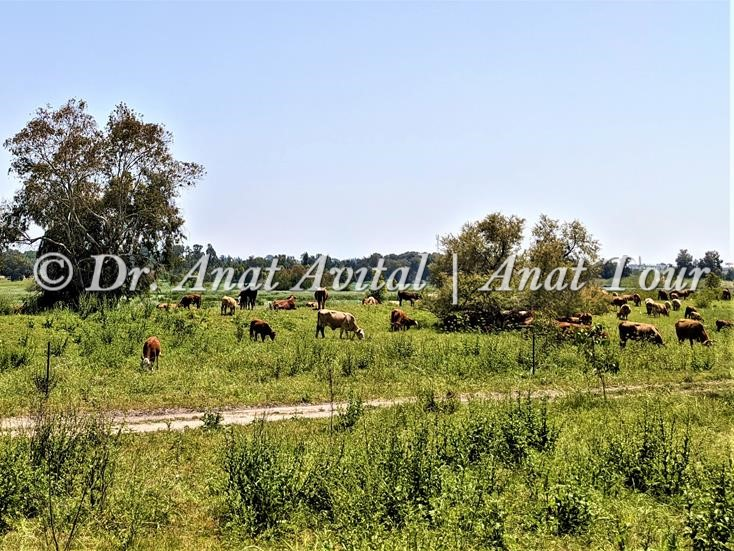 """פרות באחו, ברכת יער, שביל ישראל בפארק השרון, צילום: ד""""ר ענת אביטל"""