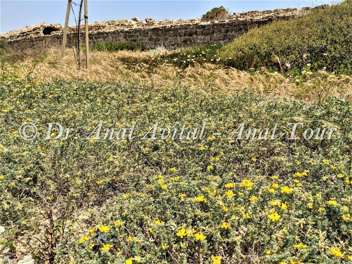 """לוטוס מכסיף, פריחת אביב בחוף, צילום: ד""""ר ענת אביטל"""