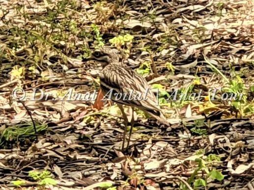 """כרוון מצוי בהסוואה מושלמת מתחת לאקליפטוסים בחניון חורבת סמארה, פארק השרון, צילום: ד""""ר ענת אביטל"""