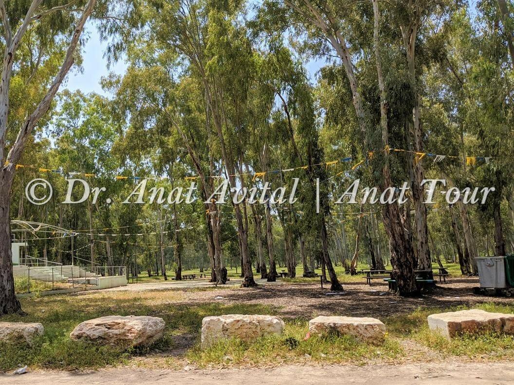 """אקליפטוסים ביער חדרה, פארק השרון, צילום: ד""""ר ענת אביטל"""